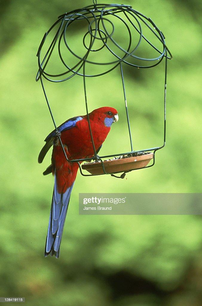 crimson rosella in bird feeder : Stock Photo