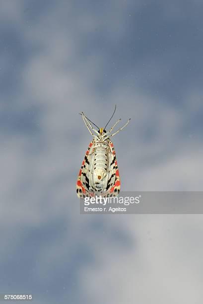 Crimson speckled (Utetheisa pulchella)