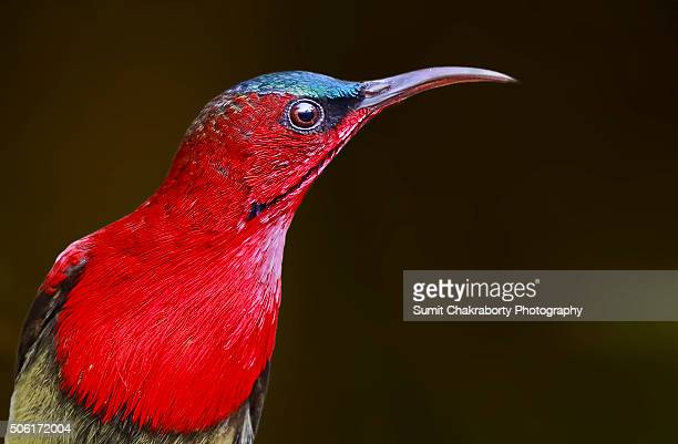 Crimson Sunbird Male