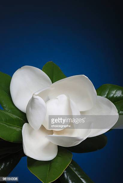 Crisp white magnolia flower blossom with green leaves
