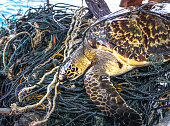 This rare Critically Endangered Hawksbill Sea Turtle (Eretmochelys imbricata) is entangled in discarded fishing net aka 'Ghost nets'.  Classified by the IUCN as facing an extremely high risk of extinc