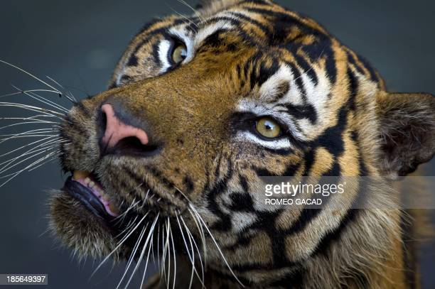 A critically endangered Sumatran tiger is seen in its enclosure at Ragunan Zoo in Jakarta on October 23 2013 In the Greenpeace report 'Licence to...
