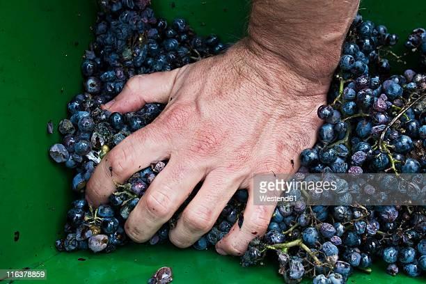 Croatia, Aljmas, Young man pressing grapes for making wine