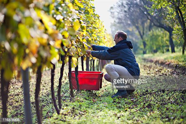 Croatia, Baranja, Young man harvesting grapes in vineyard