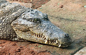 Crocodile is a predator carnivorous animal