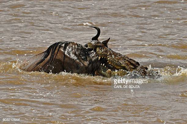 A crocodile attacks a wildebeest during the annual wildebeests migration in the Masai Mara game reserve on September 12 2016 / AFP / CARL DE SOUZA
