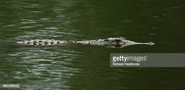 Crocodile floats across the pond surrounding the 18th green during the first round of the Alfred Dunhill Championsip at Leopard Creek Country Golf...