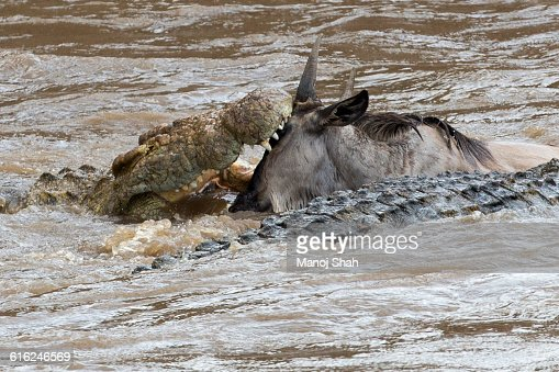 crocodile grabs a crossing wildebeest : Foto de stock
