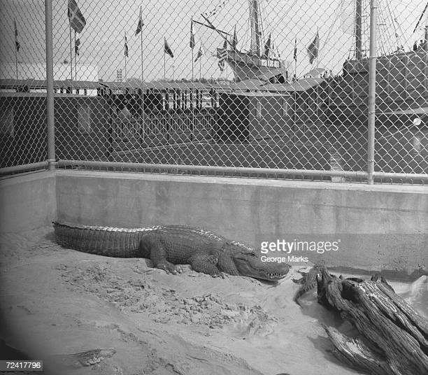 Crocodile in cage, (B&W), elevated view