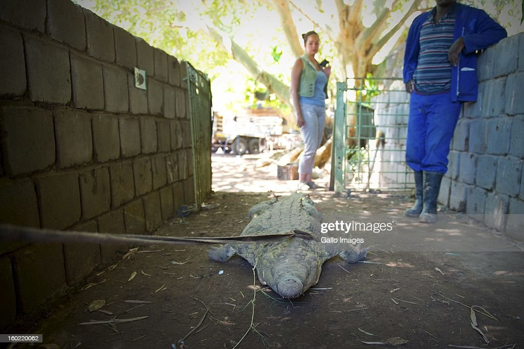 A crocodile is back in captivity on January 25, 2013, in Pontdrif, South Africa. After recent floods in Limpopo, 15 000 crocodiles have escaped from Rakwena Crocodile Farm.
