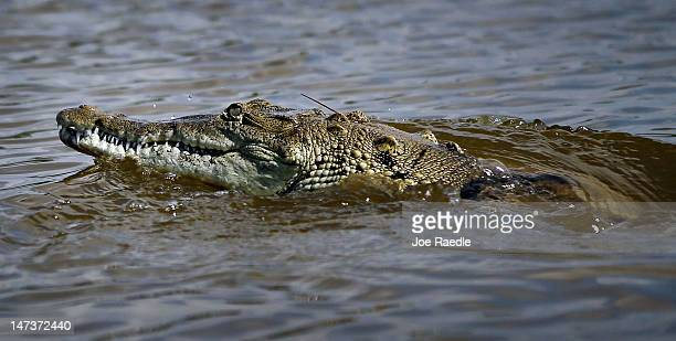 A crocodile is seen in a canal near the Florida Power Light's Turkey Point Nuclear Power Plant where they protect the crocodile and conduct research...