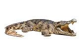The wildlife crocodile isolated on white background