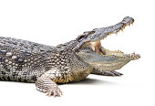Closeup of crocodile isolated on white background