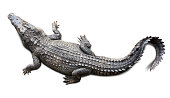 Top view of the wildlife crocodile isolated on white background with clipping path