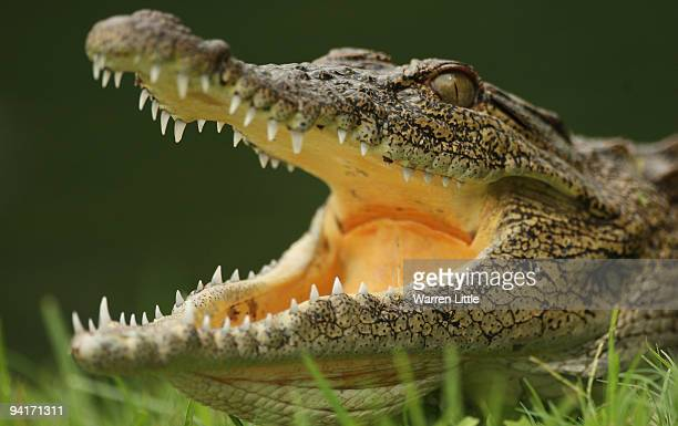 A crocodile lies in wait by the 13th green during practice before the Alfred Dunhill Championship at Leopard Creek Country Club on December 9 2008 in...