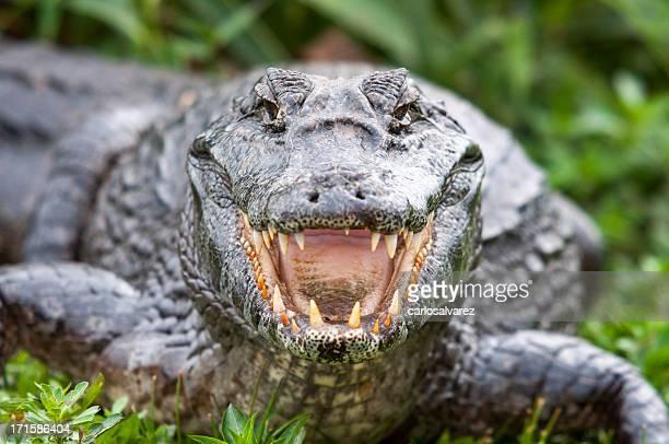 Krokodilleder