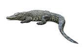 Crocodile isolated on white