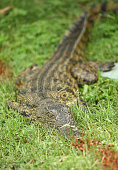 Crocodile sits along a water hazard line at the 13th during the second round of the Alfred Dunhill Championship at Leopard Creek Country Golf Club on...