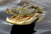 A crocodile from the Louisiana swamp grins for the camera