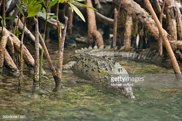Crocodile (Crocodylidae) swimming among mangroves