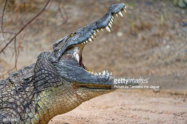 Crocodile with open mouth