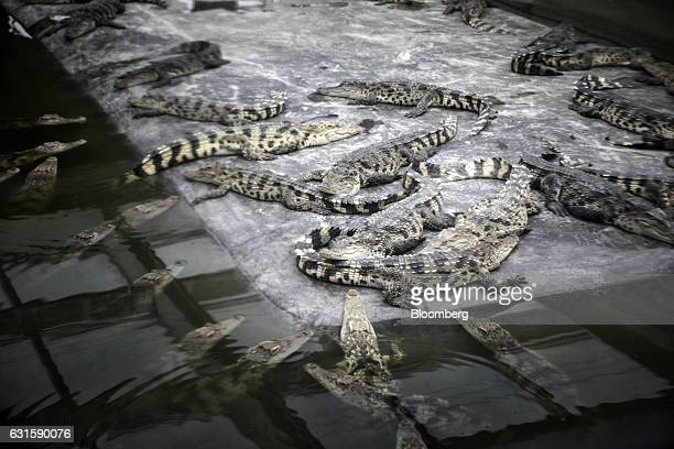 Crocodiles are seen in a pit at the Chai Tai Saimese Crocodile Breeding Base at a Charoen Pokphand Group Co facility in Beijing China on Thursday Oct...