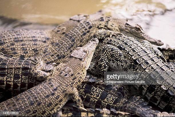 Crocodiles near Darwin Australia