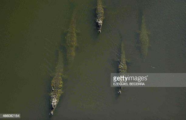 Crocodiles swim along the Río Grande in Tarcoles 110 km southwest of San Jose on March 7 2015 In Tarcoles tourists can embark onto a boat to sail...