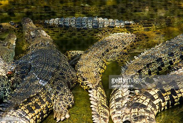 Leathery scaled backs and tails of Saltwater Crocodiles sun basking.