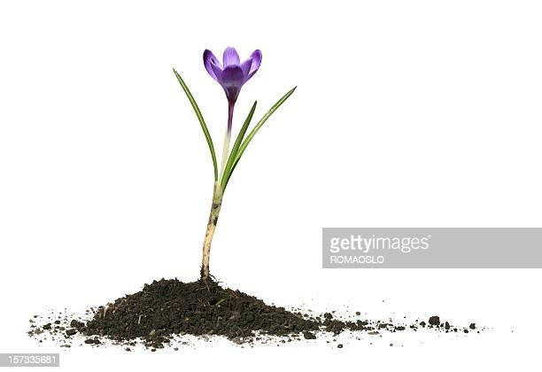 Crocus and soil isolated on white