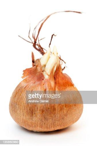 Crocus Bulb : Stock Photo