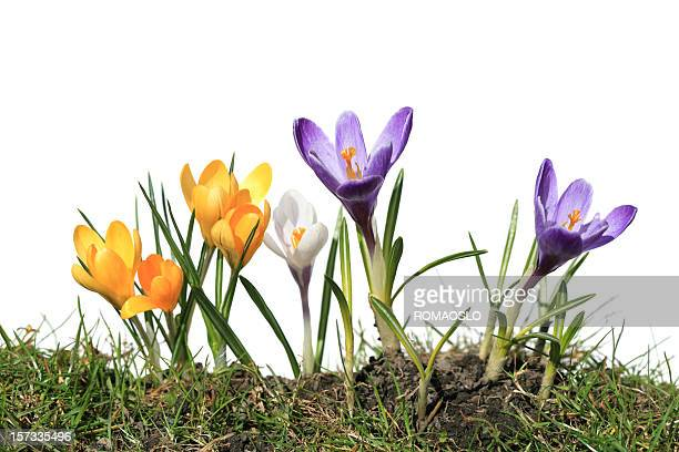 Crocus macro isolated on white and grass, Norway
