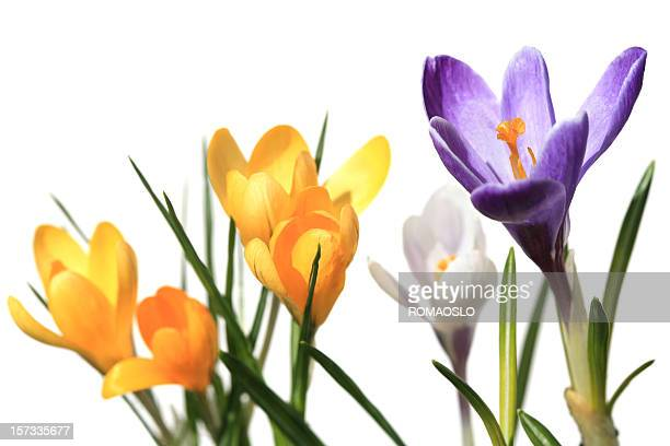 Crocus macro isolated on white