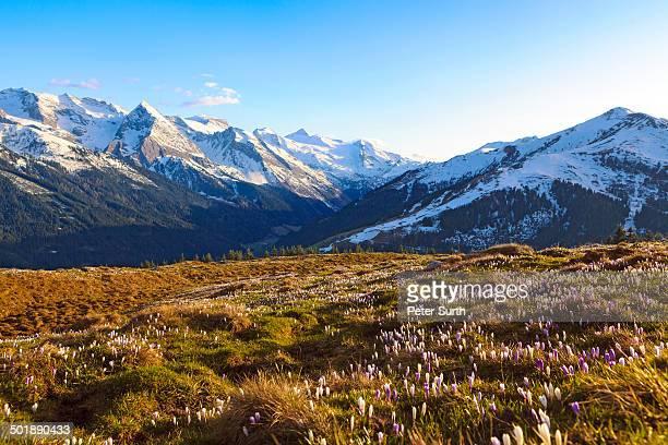 Crocus meadow in the high mountains, Zillertal, Tyrol, Austria