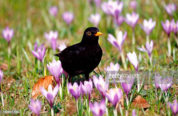 Image result for paintings and photography blackbird and gold and purple crocuses