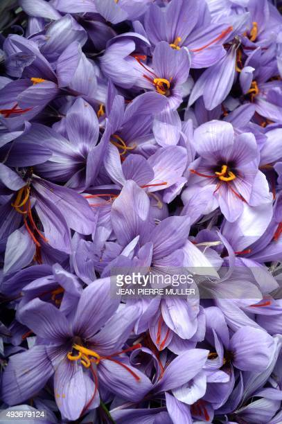 LAMOTHE Crocus Sativus the saffron crocus are pictured on October 20 2015 in AmbaresetLagrave near the southwestern city of Bordeaux A couple of...