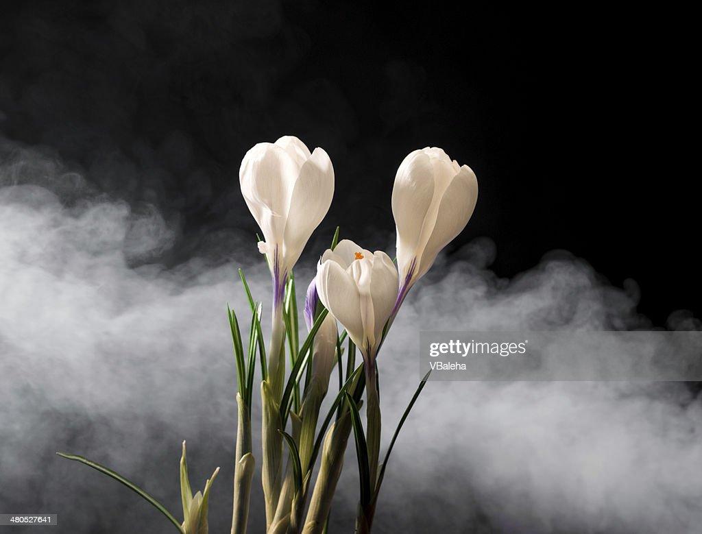 Fleurs de Crocus de printemps : Photo