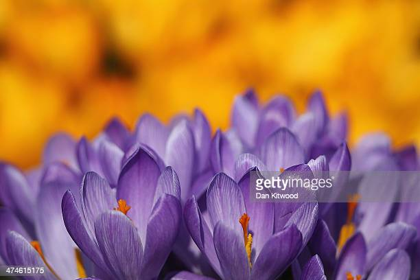 Crocuses bloom in Hyde Park as the first signs of Spring begin to show across the United Kingdom on February 24 2014 in London England After one of...
