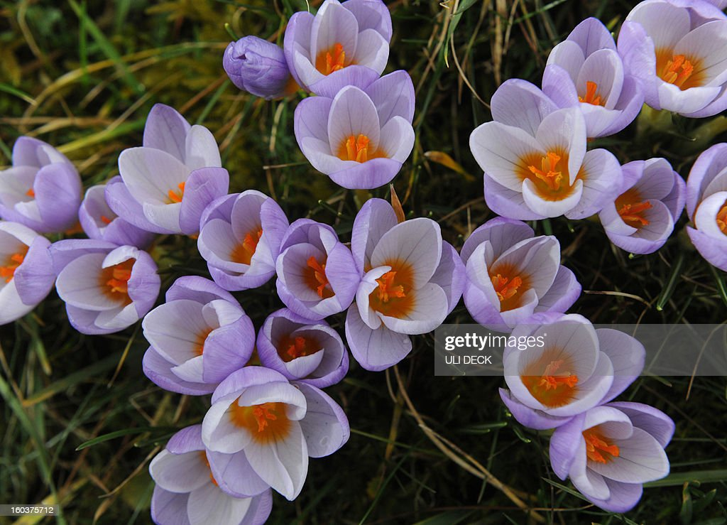 Crocuses blossom the Botanic Garden in Karlsruhe, southern Germany, on January 30, 2013. After days of a cold spell, temperatures rise again up to 14 degrees in southern parts of the country. AFP PHOTO / ULI DECK GERMANY OUT