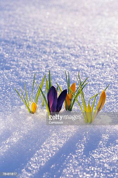 Crocuses growing in snow