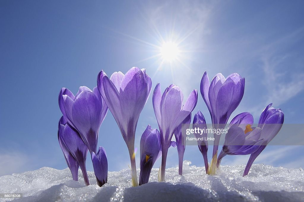 Crocuses in snow, Bavaria, Germany : Stock Photo