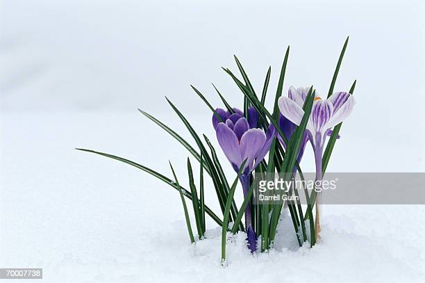 Crocuses (Crocus sp.) in snow, Washington, USA