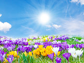 A field with colorful crocuses on a sunny spring day