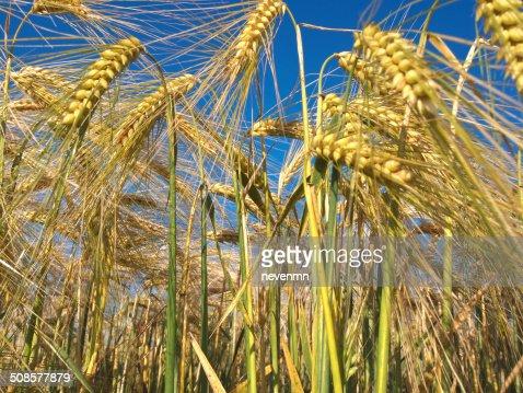 crop field : Bildbanksbilder