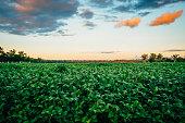 Crop field under sunrise sky in rural landscape