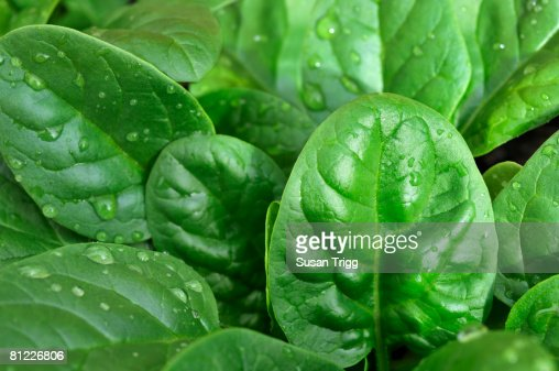 Crop of baby spinach in the garden