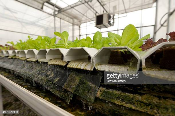 A crop of lettuce at a hydroponic farm.