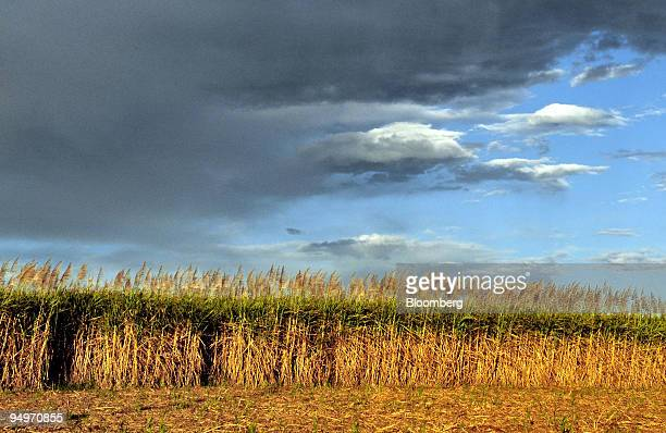 A crop of sugar cane grows on a farm in Bundaberg Queensland Australia on Thursday Aug 13 2009 The 86 percent surge in sugar prices this year will...