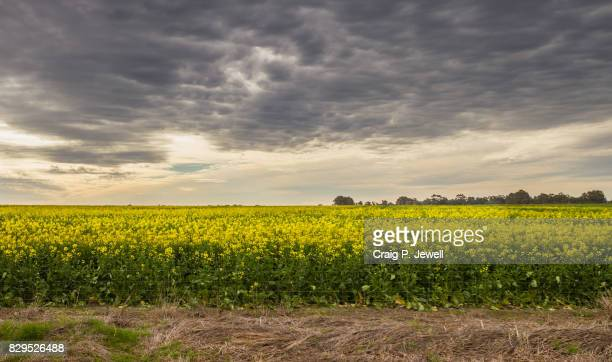A Crop of Yellow Canola Flowers Under a Gloomy Sky