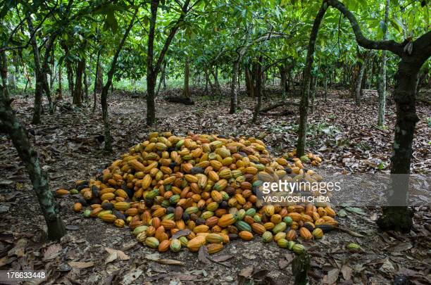 Cropped Cocoa pods in a farm in Sao Felix do Xingu Para state northern Brazil on August 7 2013 AFP PHOTO / YASUYOSHI CHIBA